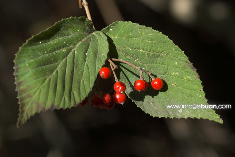 HECO-덜꿩나무06-10-12a (136)-01